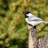 May 7 2018 - Chickadee