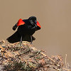 May 13 2018 - Red-winged Blackbird