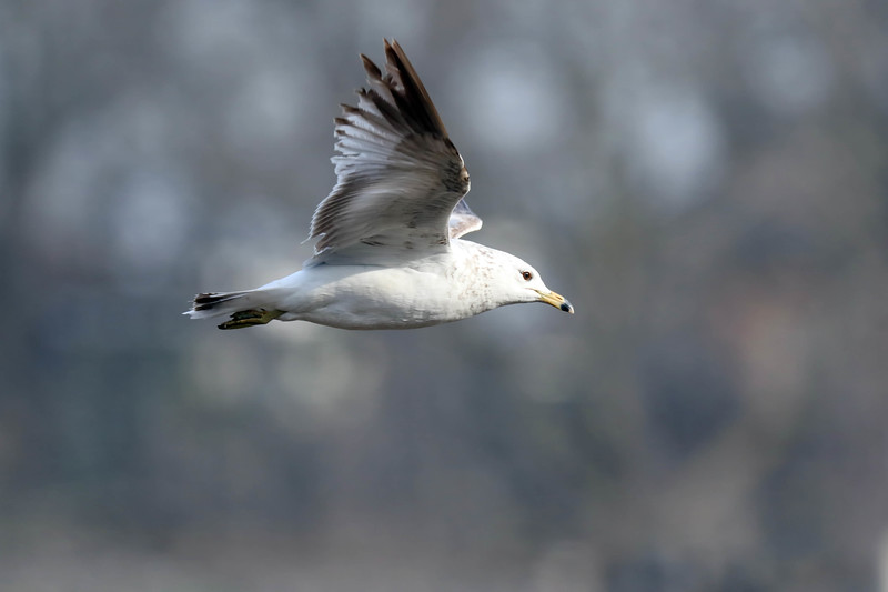 May 6 2018 - Ring Billed Gull