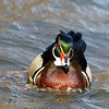 May 21 2018 - Wood Duck