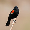 May 9 2018 - Red-Winged Blackbird