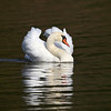 May 29 2018 - Mute Swan