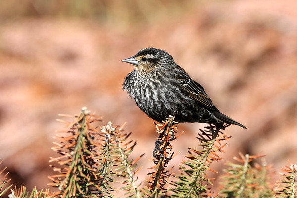 May 31 2018 - Female Red-Winged Blackbird