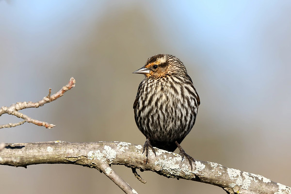 May 4 2018 - Female Red-Winged Blackbird