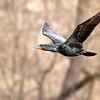 May 16 2018 - Cormorant