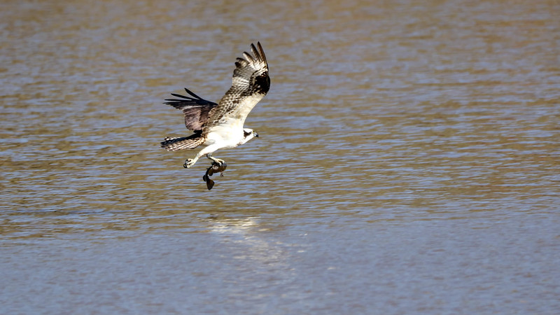 May 2 2018 - Osprey with Fish