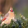 November 22 2018 - Female Northern Cardinal