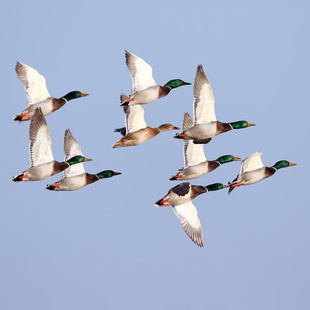 November 26 2018 - Mallard Ducks