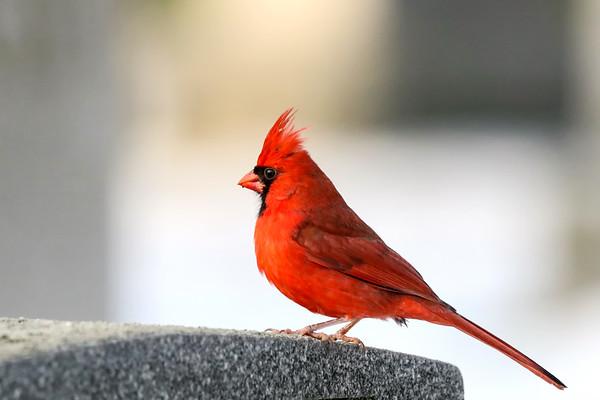 November 21 2018 - Northern Cardinal