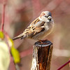 November 23 2018 - Sparrow