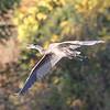 November 8 2018 - Great Blue Heron