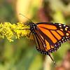 November 7 2018 - Monarch Butterfly
