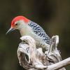 November 15 2018 - Red-Bellied Woodpecker