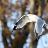 November 25 2018 - Ring Billed Gull