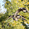 October 24 2018 - Canada Geese