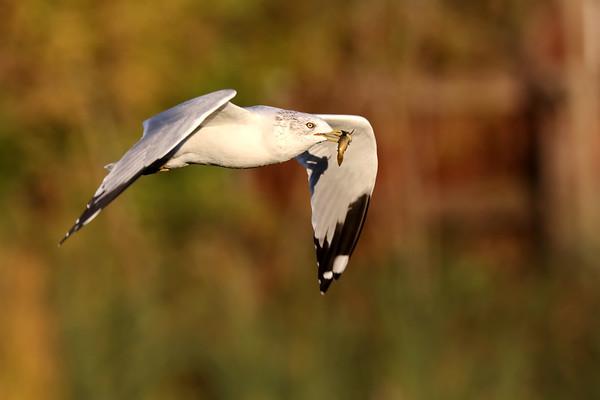 October 27 2018 - Ring Billed Gull