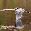 October 15 2018 - Great Blue Heron