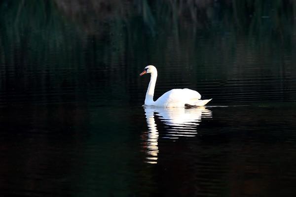 October 26 2018 - Mute Swan