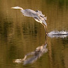October 10 2018 - Great Blue Heron