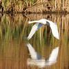 October 14 2018 - Mute Swan