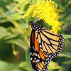 October 9 2018 - Monarch Butterfly