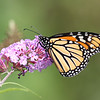 September 4 2018 - Monarch Butterfly