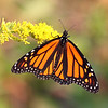 September 24 2018 - Monarch Butterfly