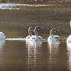 September 1 2018 - Trumpeter Swans