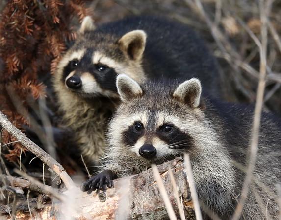 September 7 2018 - Raccoons