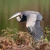 September 16 2018 - Great Blue Heron