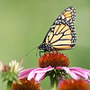 September 19 2017 - Monarch Butterfly