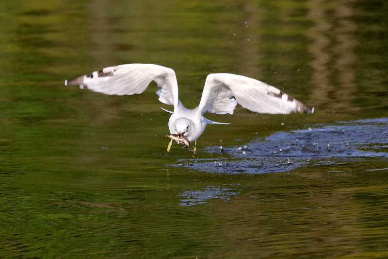 September 30 2018 - Gull With Fish
