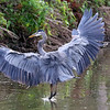 September 29 2018 - Great Blue Heron