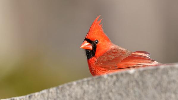April 6 2019 - Northern Cardinal