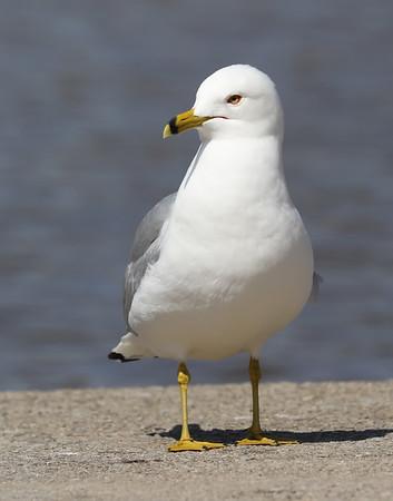 April 24 2019 - Ring Billed Gull