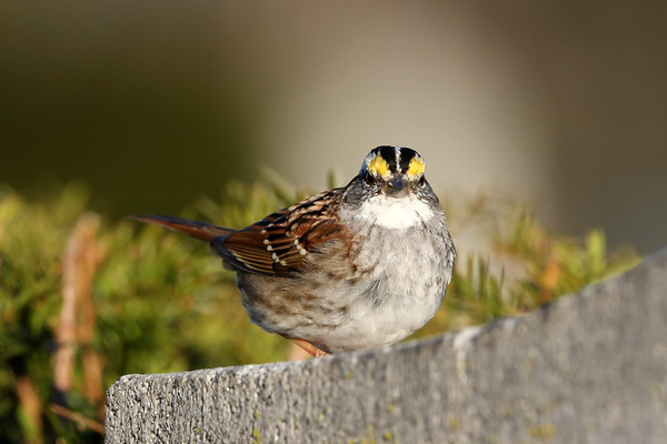 April 2 2019 - White Throated Sparrow