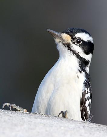 April 10 2019 - Hairy Woodpecker