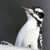 April 10 2019 - Hairy Woodpecker