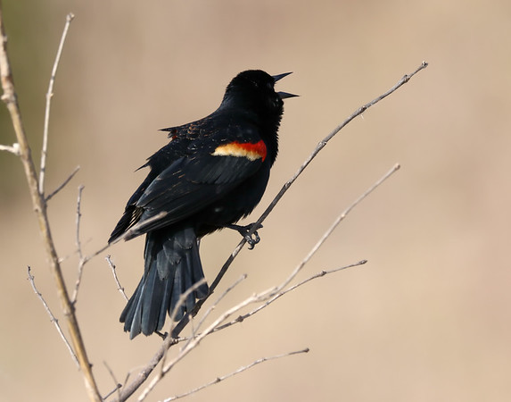 April 29 2019 - Red WInged Blackbird