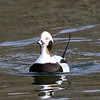 April 23 2019 - Long Tailed Duck