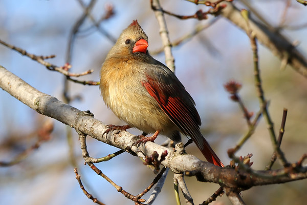 April 21 2019 - Female Cardinal