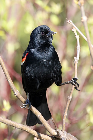 April 13 2019 - Red Winged Blackbird