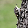 April 19 2019 - Brown Creeper