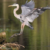 August 11 2019 - Great Blue Heron