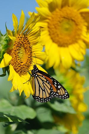 August 31 2019 - Monarch on Sunflower