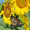August 31 2019 - Monarch on Sunflower