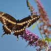 August 19 2019 - Swallowtail Butterfly