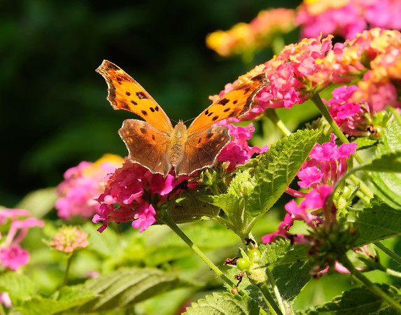 August 7 2019 - Comma Butterfly