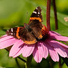 August 21 2019 - Red Admiral Butterfly