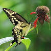 August 12 2019 - Swallowtail Butterfly